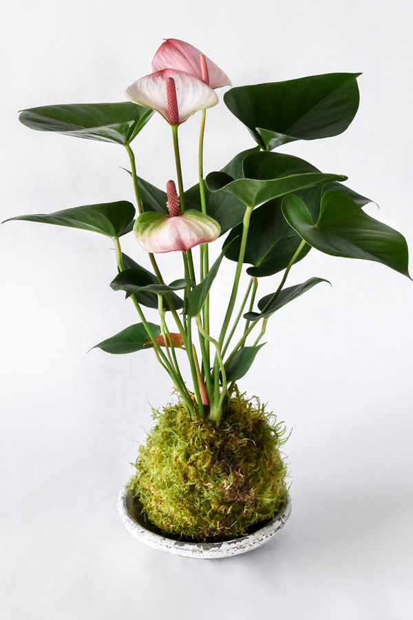Pink-Flowering-Anthurium-Kokedama in shallow dish
