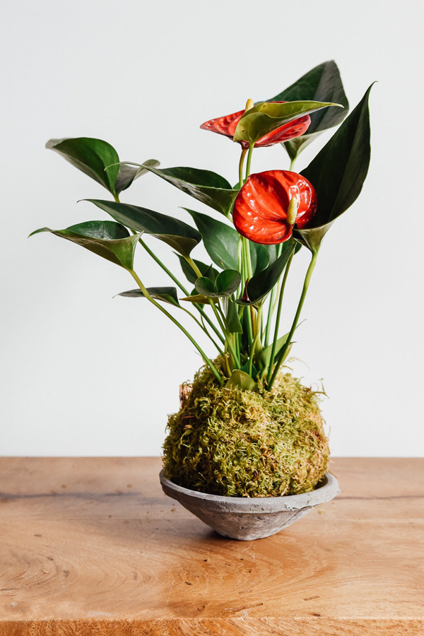 Anthurium kokedama in shallow dish