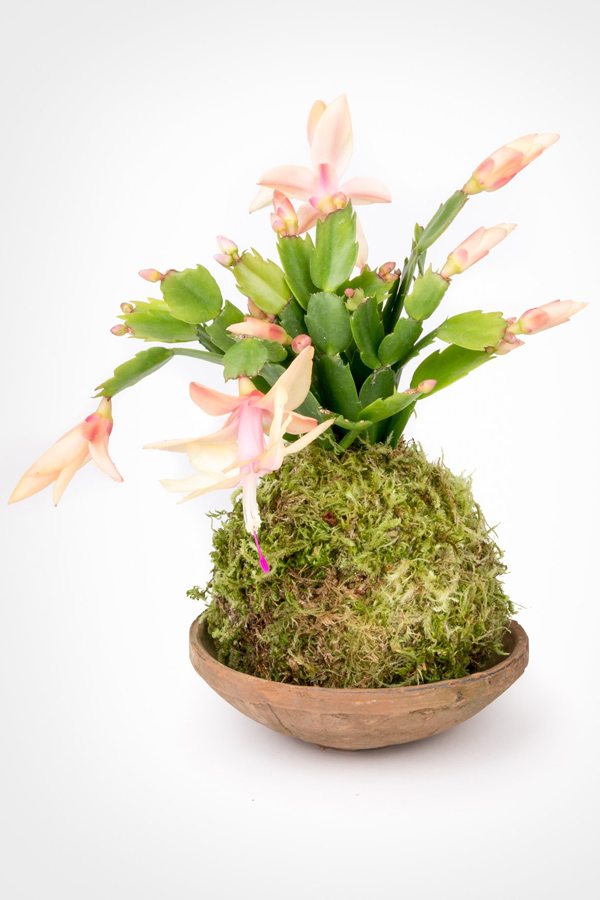 Pink Christmas Cactus Kokedama in shallow terra cotta dish