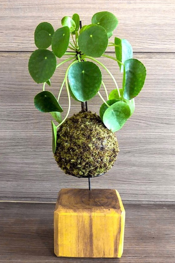 Indoor plant display with pilea kokedama