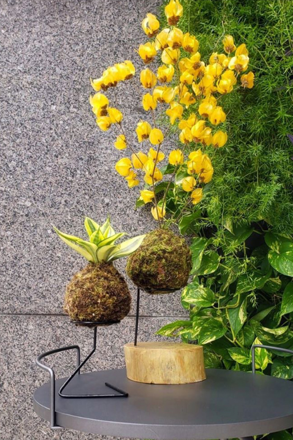 Yellow flowering kokedama tabletop display