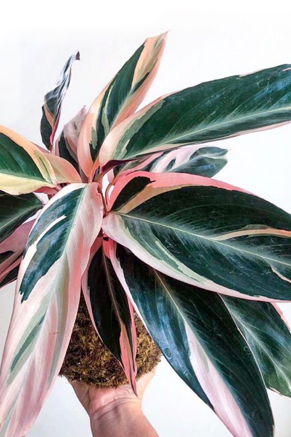 Veregated pink and green indoor plant
