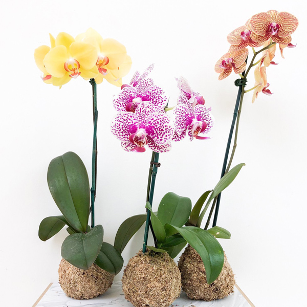 Three orchid kokedama moss ball bonsai plants