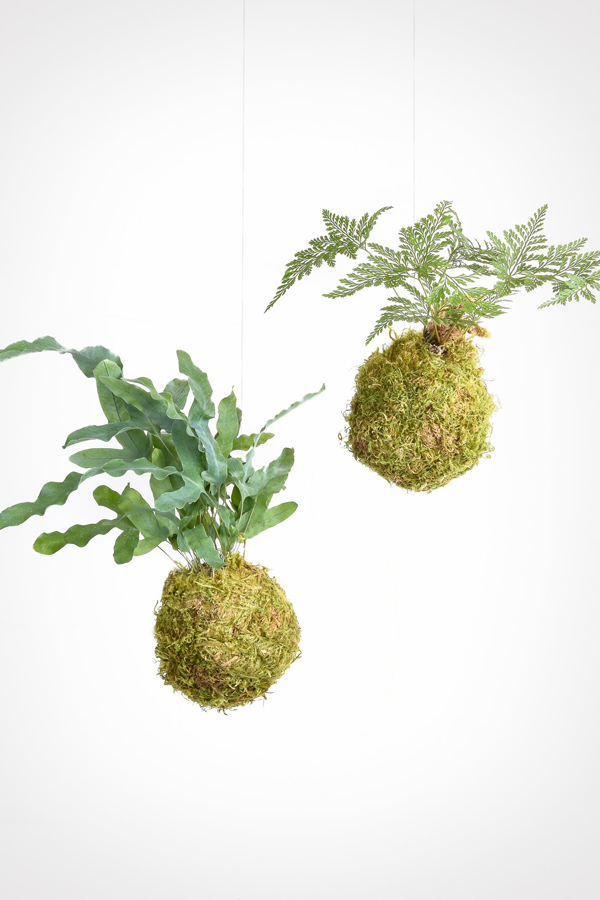 Pair of hanging fern kokedama plants