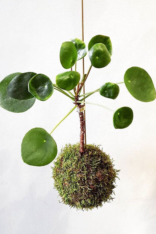 Hanging pilea indoor plant kokedama moss ball display