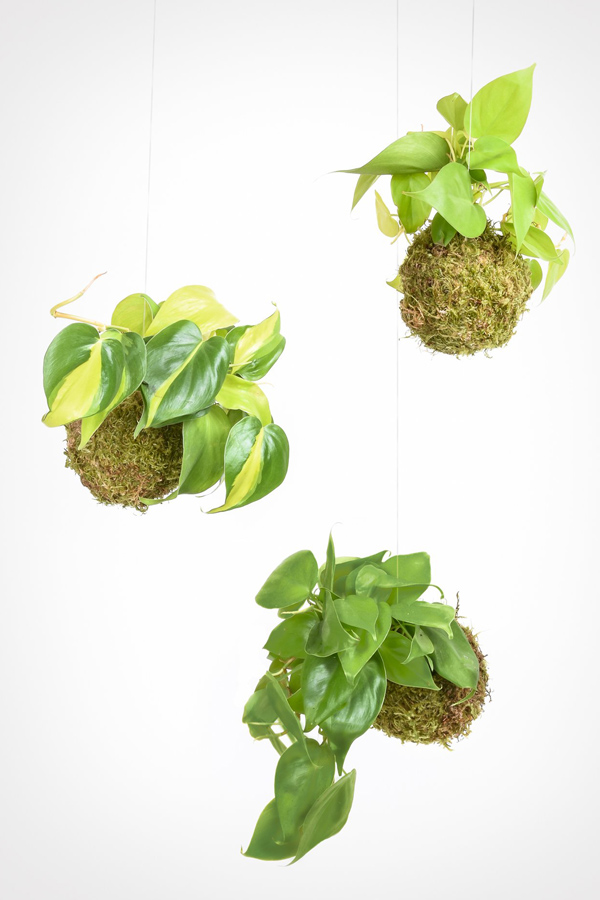Three hanging pathos kokedama plants