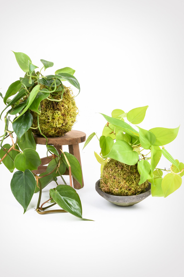 Two trailing philodendron plants in moss ball kokedama planters