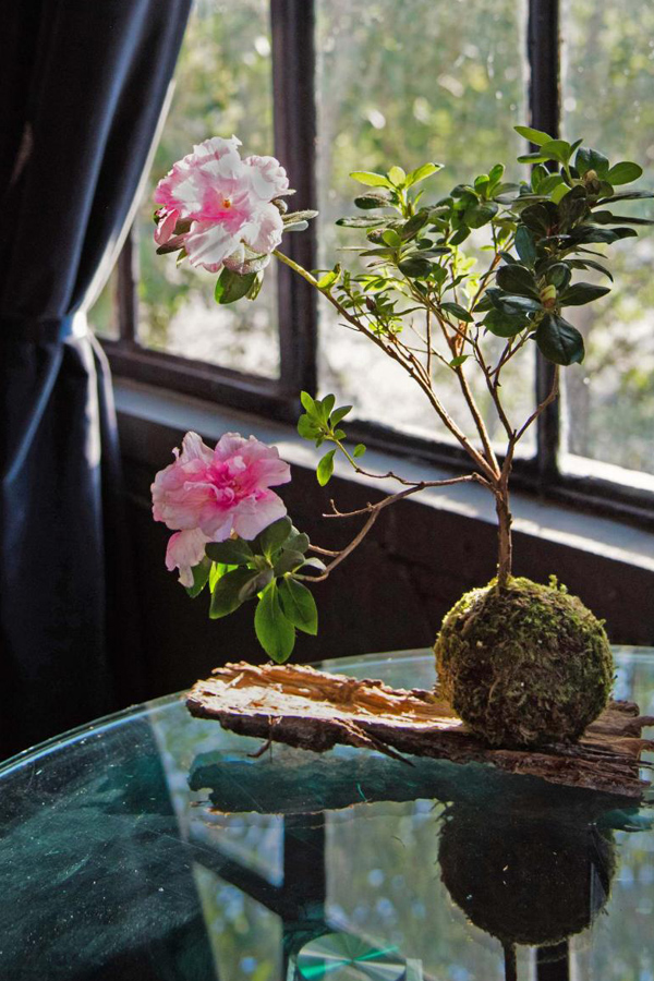 Pink flowering indoor plant kokedama