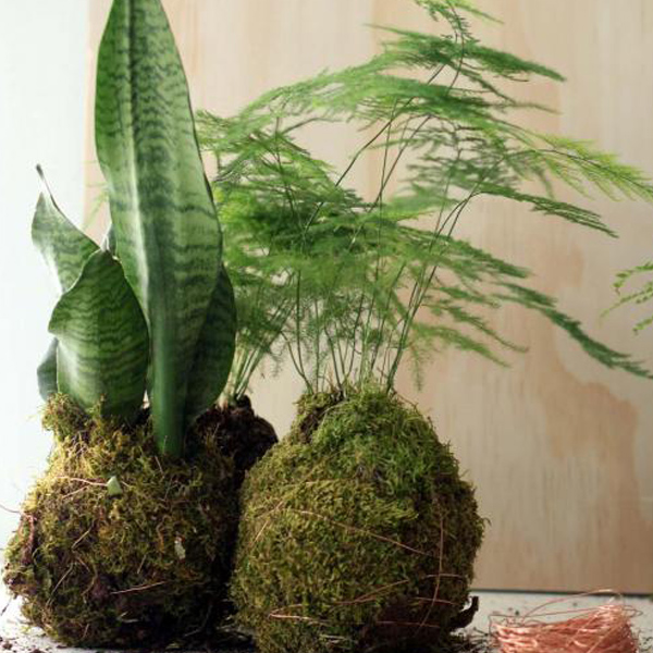 Snakeplant and fern kokedama indoor plants