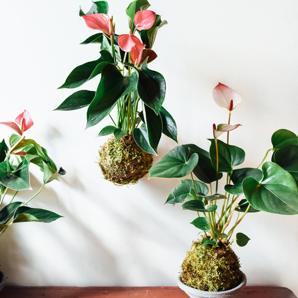 Three kokedama plants, one hanging and two in shallow dishes