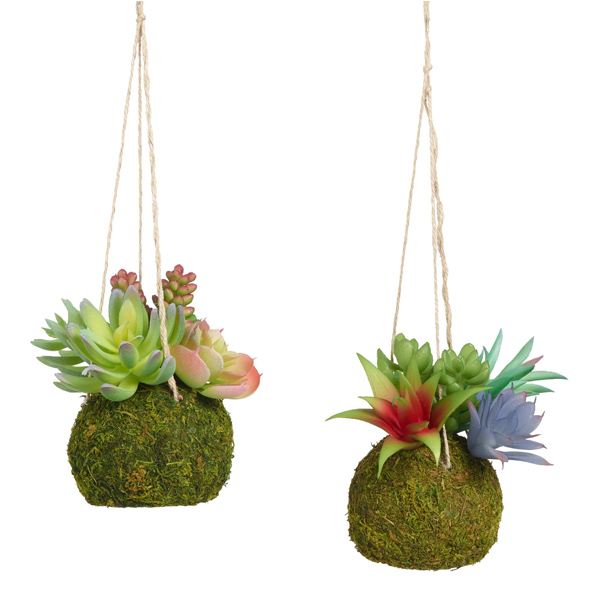 Two hanging kokedama with colorful succulents
