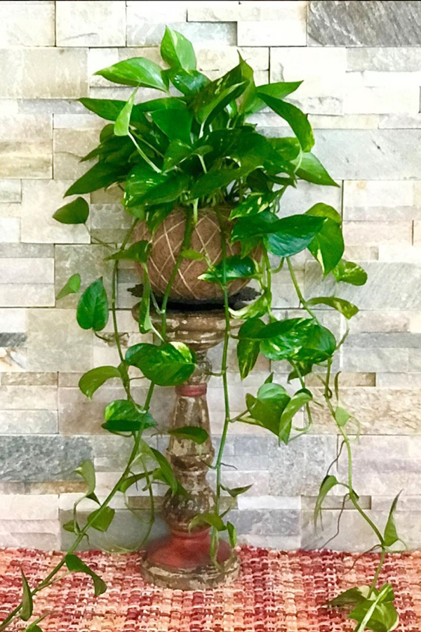 Trailing pothos philodendron on rustic turned wood candleholder