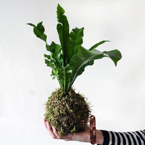 Hands holding large fern kokedama plant